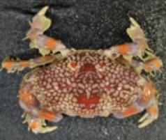CoralCrab